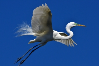 A Great White Egret with breeding plumage over St Augustine, Florida