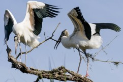 Storks with a rather large branch to use as nesting material.