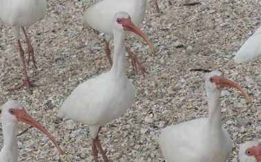 Our new friends - Ibis on the banks of the Caloosahatchee