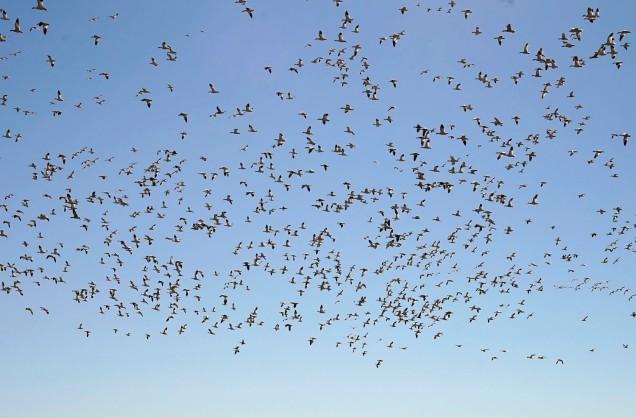 snow-geese-1500_dsc3368