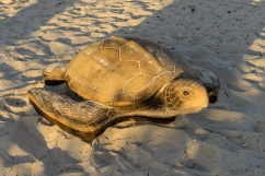 A very lifelike stone turtle in the playarea on Fort Myers Beach