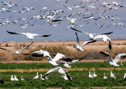 Snow Geese at the Sonny Bono wildlife refuge