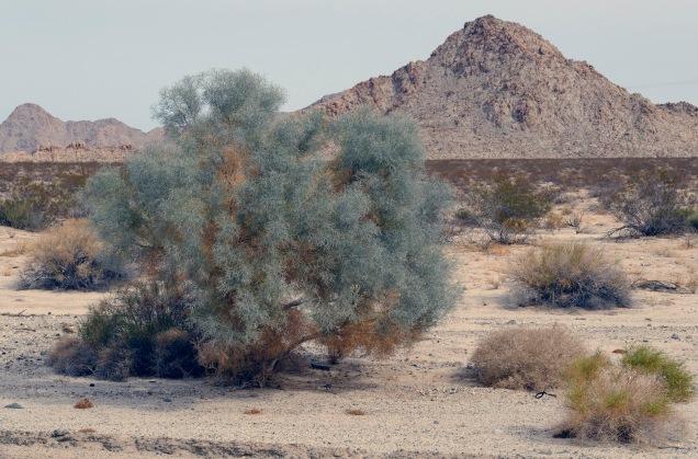 1500 Desert Shrub 130318_DSF3106