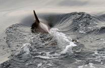 1500 Dolphin dive 070318_DSF2758