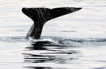 1500 Grey Whale breach 1 070318_DSF2889