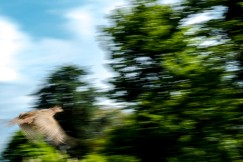 1500 Fleeing Pheasant 140518_DSF3845.jpg (1 of 1)