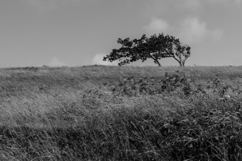 1800 Cissbury Windswept Tree