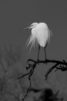 1800 Egret on Branch BGround BW_2417