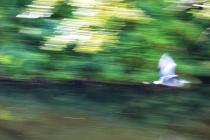 Fleeing Heron