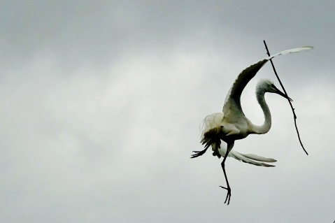 An egret with the brakes on!
