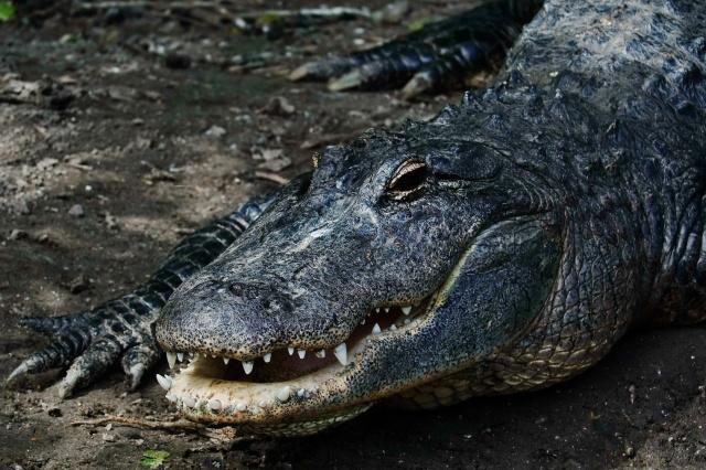 1800 Alligator 1 DSC03081