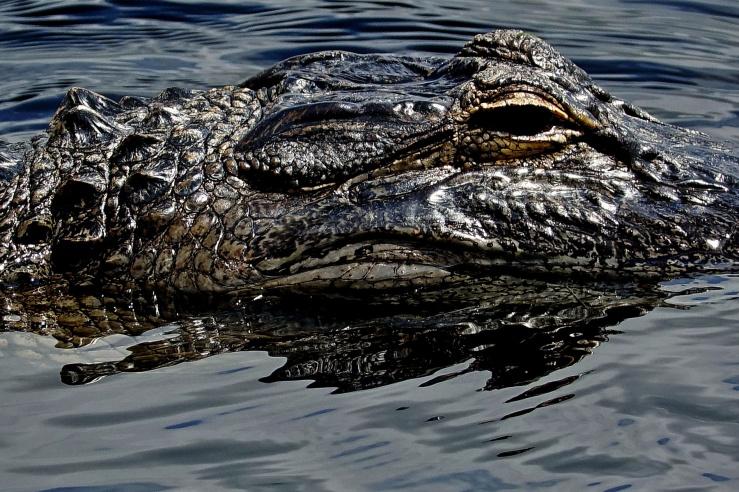 1800 Alligator Closup 2 160318 DSC02914
