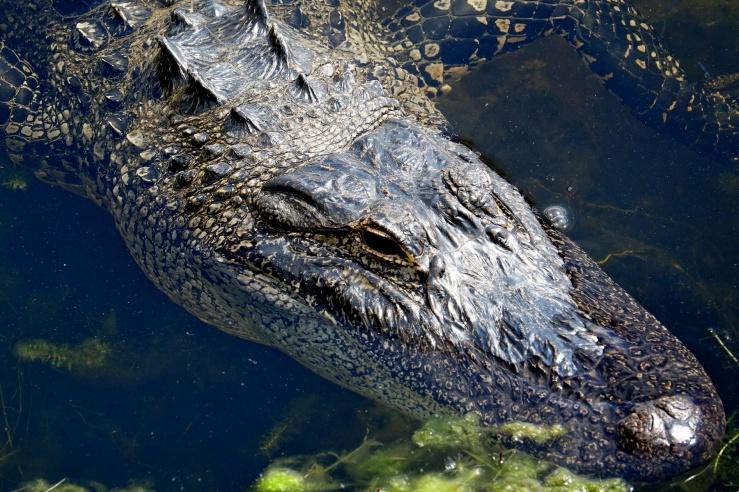 1800 Alligator on Toho 160319 DSC02922