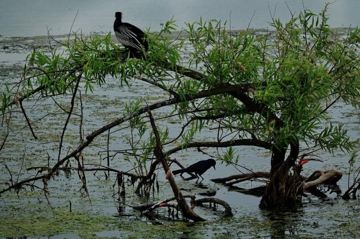 1800 Birds at Kissimmee 170319 DSC02951
