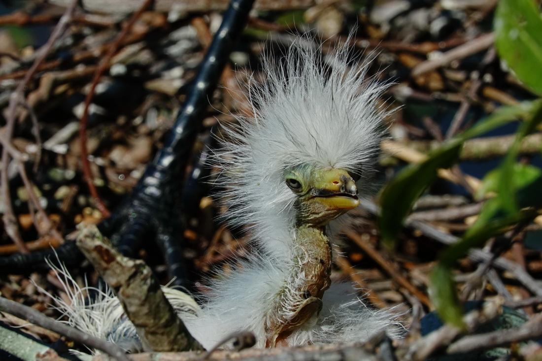 1800 Egret 1 Day Chick 1 220319 DSC04244