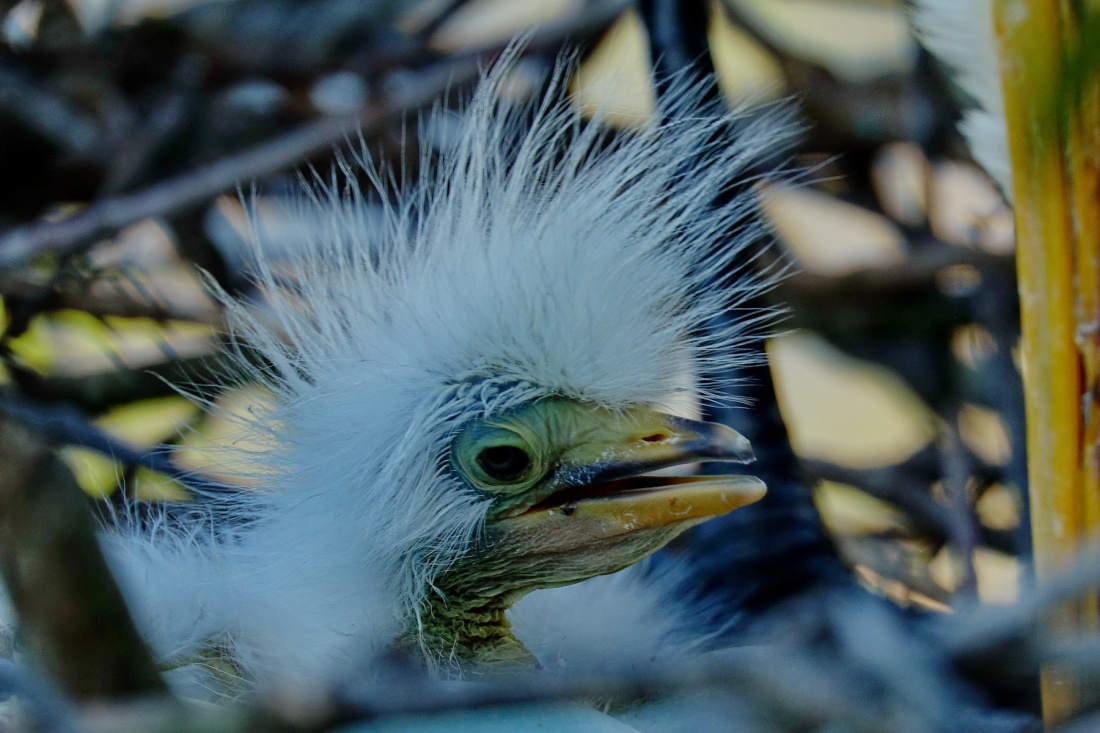 1800 Egret 1 Day Old Chick 3 220319 DSC03902
