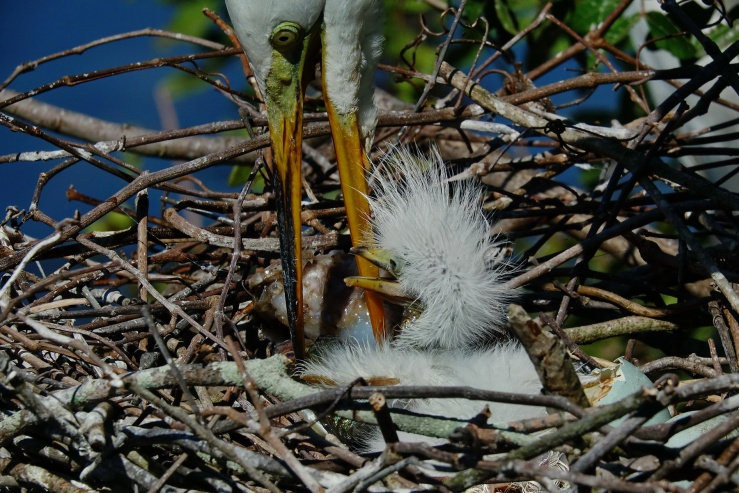 1800 Egret Day 1 Chick 2 220319 DSC04210