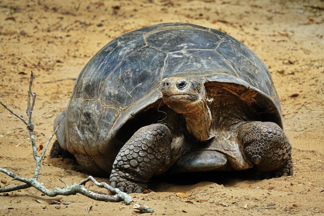 1800 Galapagos Tortoise 180319 DSC03052