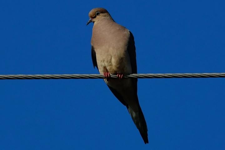 1800 Pink Dove 140319 DSC02849