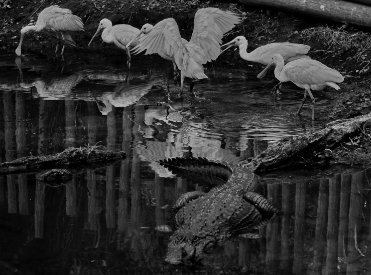 1800 Spoonbills and Alligator 190319 DSC03303