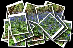 A Collage of Bluebell Shots.