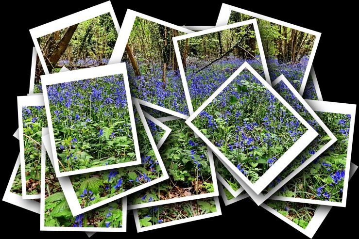 1800 Bluebell Collage 280419 DSC04788