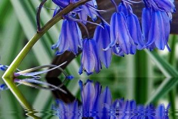 Pretty Bluebells