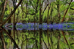 Bluebells in the wood with stream and reflection - maybe!