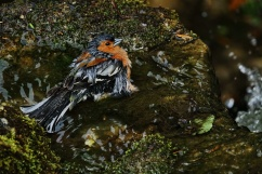 Another image of the chaffinch having a cleanup and splash about.