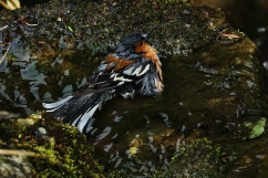 A chaffinch having a bath in a small pool by the waterfall.