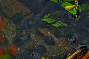 Tadpoles in the pond at the Rock Gardens