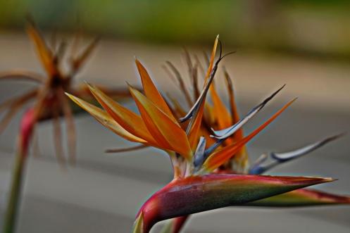 Bird of Paradise in full bloom