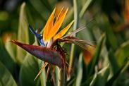 1800 Bird of Paradise 2 140220_DSF1017