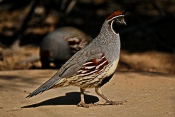 A California Quail at the Sonny Bono Wildlife Refuge