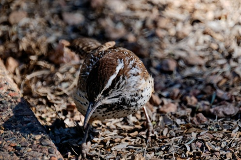 A desert bird with the perfect camouflaged plumage