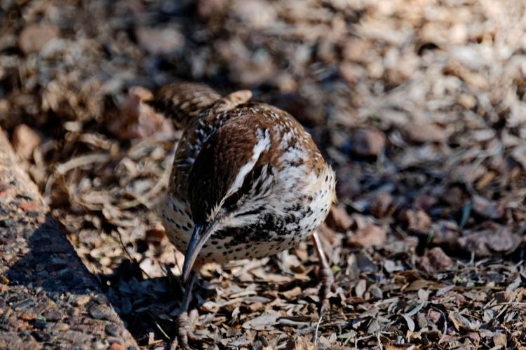 1800 Desert bird 170120_DSF1136