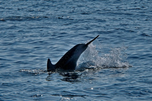 A dolphin taking a dive
