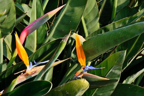 A humming bird drinking nectar in the gardens