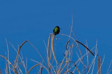 A very small emerald green hummingbird