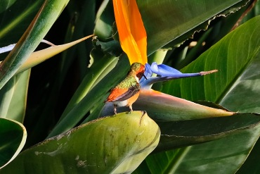 A humming bird drinking nectar from bird of paradise in the gardens