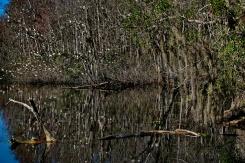 An Alligator and a few Ibis