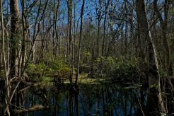 In the Cypress Swamp, a unique habitat and landscape