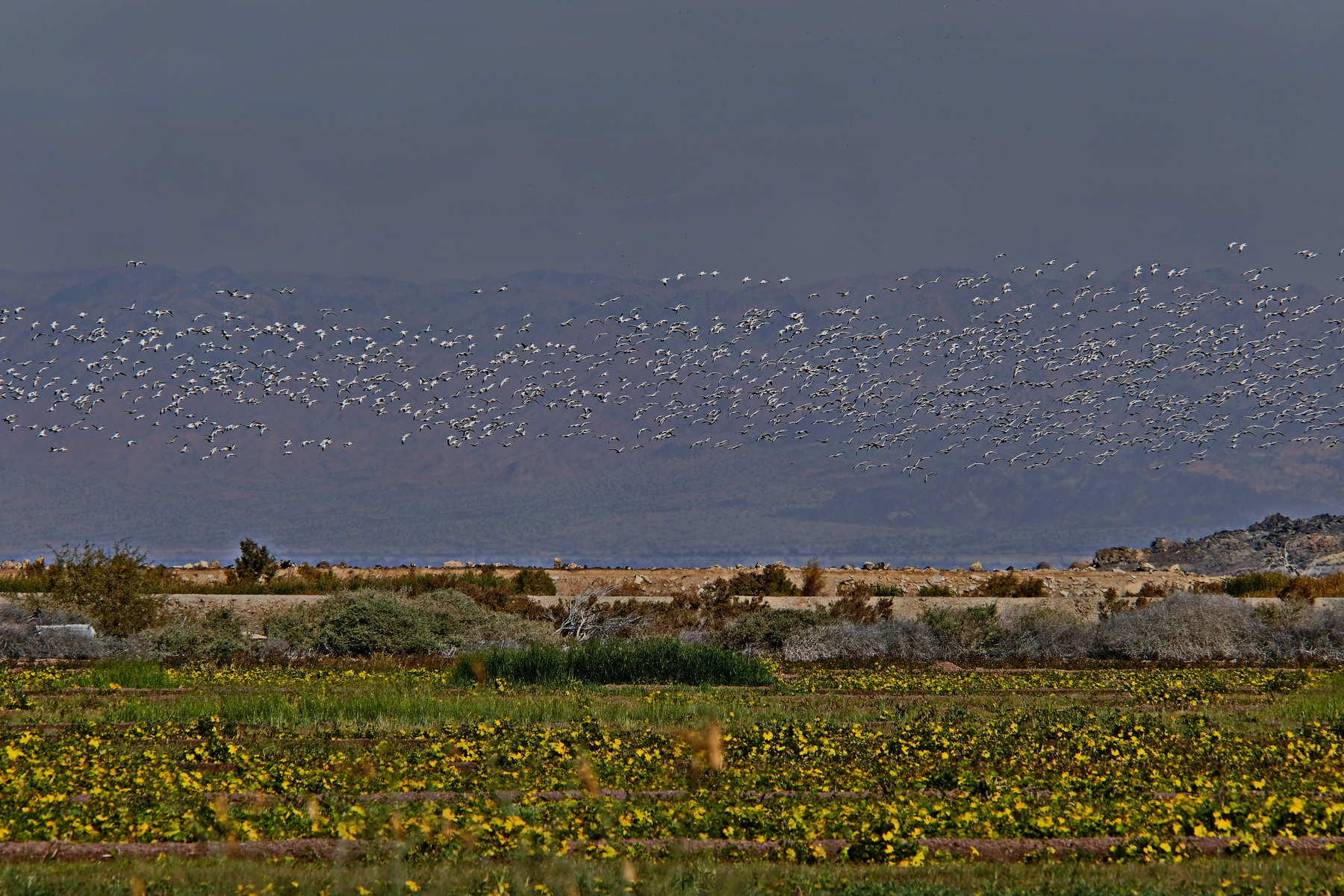 1800 Snow Geese 4 210120_DSF1254