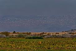 Snow Geese over Sonny Bono, Southern California.