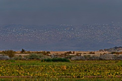 Snow Geese over Sonny Bono, Southern California.